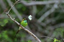 Abeja-comedor que come la mariposa en rama Foto de archivo