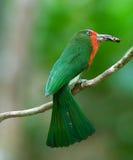 Abeja-comedor Rojo-barbudo Fotografía de archivo libre de regalías