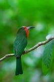 Abeja-comedor Rojo-barbudo Imagen de archivo libre de regalías