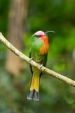 Abeja-comedor Rojo-barbudo (amictus de Nyctyorni s) Fotografía de archivo libre de regalías