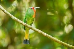 Abeja-comedor Rojo-barbudo (amictus de Nyctyorni s) Foto de archivo libre de regalías