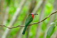 Abeja-comedor Rojo-barbudo (amictus de Nyctyornis) Foto de archivo