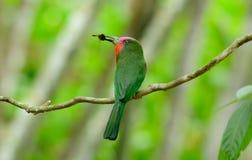 Abeja-comedor Rojo-barbudo (amictus de Nyctyornis) Fotografía de archivo libre de regalías