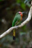 Abeja-comedor Rojo-barbudo (amictus de Nyctyornis) Fotos de archivo libres de regalías