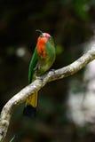 Abeja-comedor Rojo-barbudo (amictus de Nyctyornis) Fotografía de archivo