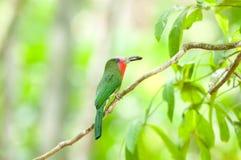 Abeja-comedor Rojo-barbudo en naturaleza Fotos de archivo libres de regalías