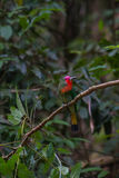 Abeja-comedor Rojo-barbudo que se encarama en la rama Fotos de archivo