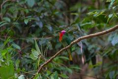 Abeja-comedor Rojo-barbudo que se encarama en la rama Imagen de archivo