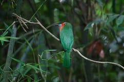 Abeja-comedor Rojo-barbudo que se encarama en la rama Fotografía de archivo libre de regalías