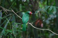 Abeja-comedor Rojo-barbudo que se encarama en la rama Imagen de archivo libre de regalías