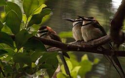 Abeja-comedor throated blanco conocido como albicollis del Merops Fotos de archivo libres de regalías