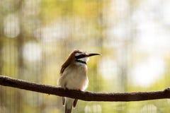 Abeja-comedor throated blanco en una rama Fotografía de archivo