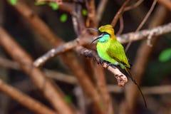 Abeja-comedor u orientalis verdes del Merops Imágenes de archivo libres de regalías
