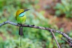Abeja-comedor u orientalis verdes del Merops Imagenes de archivo