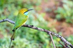Abeja-comedor u orientalis verdes del Merops Fotografía de archivo libre de regalías