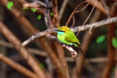 Abeja-comedor u orientalis verdes del Merops Foto de archivo