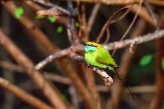 Abeja-comedor u orientalis verdes del Merops Fotos de archivo libres de regalías