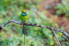 Abeja-comedor u orientalis verdes del Merops Foto de archivo libre de regalías