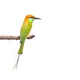 Abeja-comedor verde Imagen de archivo libre de regalías
