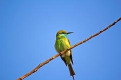 Abeja-comedor verde Fotografía de archivo libre de regalías