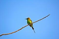 Abeja-comedor verde Imagen de archivo