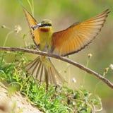 Abeja-comedor Verde-atado Foto de archivo libre de regalías