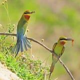 Abeja-comedor Verde-atado Fotos de archivo
