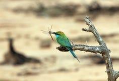 Abeja-comedor verde con la libélula Imagen de archivo libre de regalías