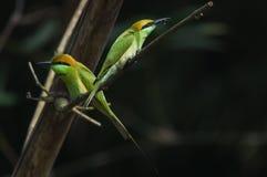Abeja-comedor verde con una caza Imagenes de archivo
