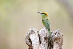 Abeja-comedor verde en el bosque de Jhirna Foto de archivo libre de regalías