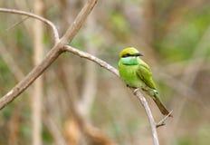 Abeja-comedor verde en el bosque de Jhirna Fotos de archivo