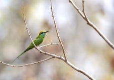 Abeja-comedor verde en Pench Tiger Reserve Fotos de archivo