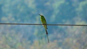 Abeja-comedor verde en una luz hermosa de la mañana Foto de archivo