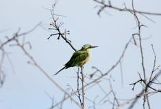 Abeja-comedor verde en una rama Imagenes de archivo