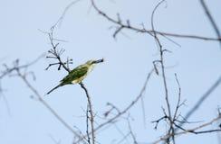Abeja-comedor verde encaramado en rama con la presa Imágenes de archivo libres de regalías