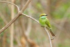 Abeja-comedor verde encaramado en un árbol Fotos de archivo