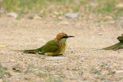 Abeja-comedor verde (orientalis del Merops) Foto de archivo libre de regalías