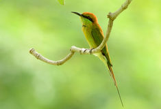Abeja-comedor verde (orientalis del Merops) Fotos de archivo