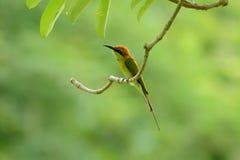Abeja-comedor verde (orientalis del Merops) Imagen de archivo