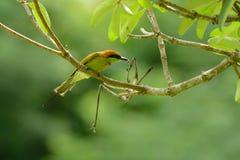 Abeja-comedor verde (orientalis del Merops) Imagen de archivo libre de regalías