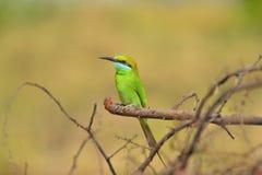 Abeja-comedor verde, orientalison del Merops una rama en el santuario de fauna de Sagareshwar, Sangli, maharashtra Foto de archivo libre de regalías