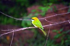 Abeja-comedor verde, parque nacional del oeste de Yala, Sri Lanka Fotos de archivo