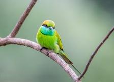 Abeja-comedor verde que se sienta en una rama Fotos de archivo libres de regalías