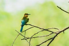 Abeja-comedores atados azul Foto de archivo libre de regalías