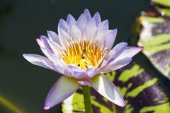 Abeja con el lirio de agua púrpura de lite Fotografía de archivo libre de regalías