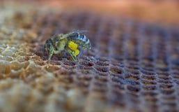 Abeja con el polen Imágenes de archivo libres de regalías