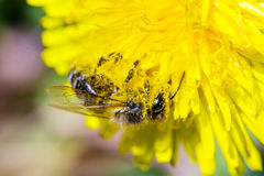 Abeja con el polen en su cabeza y piernas Foto de archivo