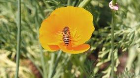 Abeja con eschscholzia anaranjado Imagenes de archivo