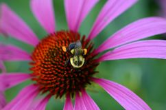Abeja con la cesta del polen en las piernas traseras en la cabeza del coneflower Foto de archivo libre de regalías