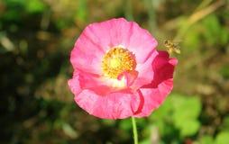 Abeja con la cesta o el Corbicula del polen Foto de archivo libre de regalías